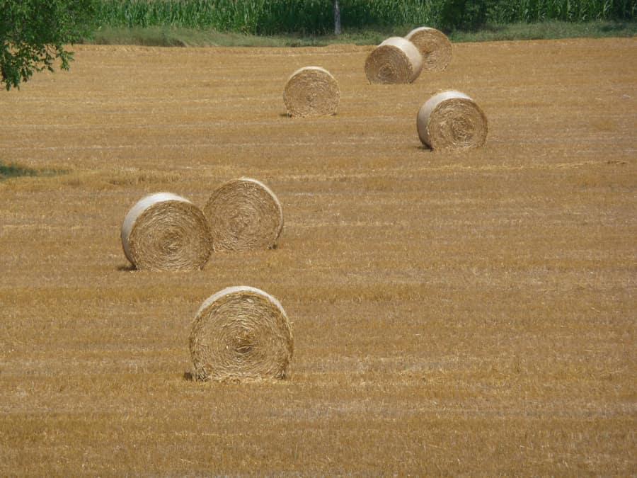 Palle di grano in un campo